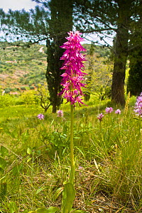 Hybrid orchid (Orchiaceras x bivonae). Hybrid of Naked man orchid (Orchis italica) and Man orchid (Orchis anthrophorum) Monte St Angelo, Gargano, Puglia, Italy, April.  -  Paul  Harcourt Davies