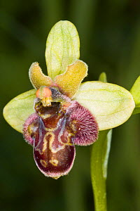 Hybrid orchid (Ophrys x hoeppneri), hybrid between Bumble Bee orchid (Ophrys bombyliflora) and Early spider (Ophrys sphegodes) orchid. Mount Argentario, Tuscany, Italy. April  -  Paul  Harcourt Davies