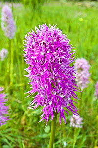 Naked Man Orchid (Orchis italica) Mount Argentario, Tuscany, Italy. April.  -  Paul  Harcourt Davies