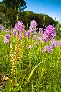 Naked Man Orchid (Orchis italica) in flower with Man orchids (Orchis anthropophorum) Mount Argentario, Tuscany, Italy. April.  -  Paul  Harcourt Davies