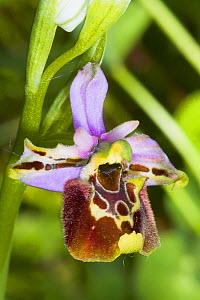 Late Spider Orchid (Ophrys fuciflora) Preci near Norcia, Umbria. Italy, May.  -  Paul  Harcourt Davies