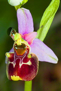 Late Spider Orchid (Ophrys fuciflora) Lazio, Italy, May,  -  Paul  Harcourt Davies