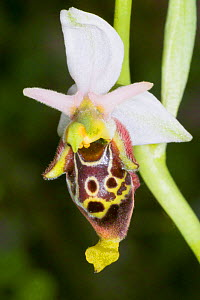 Late Spider Orchid (Ophrys fuciflora) Sibillini form with narrow lips and prominent appendage. Nera Valley, near Spoleto, Umbria, Italy, May.  -  Paul  Harcourt Davies