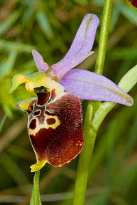 Late Spider Orchid (Ophrys fuciflora) Nera Valley, near Spoleto, Umbria, Italy, May.  -  Paul  Harcourt Davies