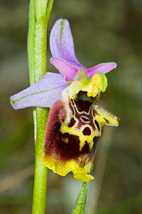 Late Spider Orchid (Ophrys fuciflora) Sibillini, Italy, May.  -  Paul  Harcourt Davies