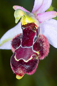 Hybrid orchid (Ophrys x vespertilio) betwen the Bee orchid (Ophrys apifera) and Bertolonii's orchid (Ophrys bertolonii) Mount Amiata, Tuscany, Italy, June.  -  Paul  Harcourt Davies
