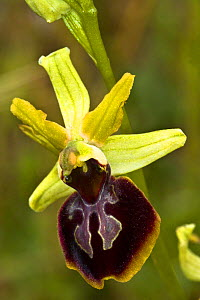 Gargano Ophrys (Ophrys sphegodes ssp garganica) endemic, Mount Amiata, Tuscany, Italy. June.  -  Paul  Harcourt Davies