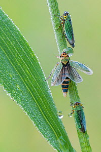 Green Leafhoppers (Cicadella viridis) covered in raindrops, Peerdsbos, Brasschaat, Belgium  -  Bernard Castelein