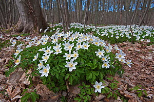 Wood anemone (Anemone nemorosa) in flower, in woodland, Staatsbossen, Texel, the Netherlands, April. - Bernard Castelein