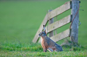 Brown Hare (Lepus europeaus) sitting by fence, Texel, the Netherlands, April.  -  Bernard Castelein
