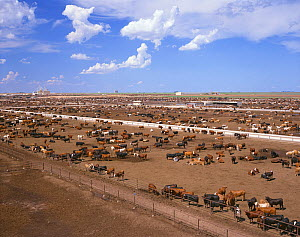Grazing cows in feedlot, grassless enclosures where they are fed high energy grains to fatten them up prior to slaughter, Texas, USA, July. - Aflo