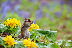Siberian chipmunk (Tamias sibiricus lineatus) feeding in garden in spring surrounded by flowers, Hokkaido, Japan, May.  -  Aflo
