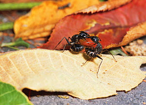 Japanese Carpenter ants (Camponotus japonicus) fighting in leaf litter, Kiso, Nagano Prefecture, Japan, August.  -  Aflo