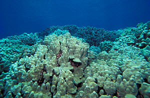 Lobed coral (Porites lobata) in shallow reef. Hawaii, USA, tropical Indo-Pacific oceans.  -  Brandon Cole