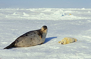 Harp Seal (Phoca groenlandica) mother and her newborn pup  resting on floating ice. Magdalen Islands, Canada, Atlantic Ocean. - Brandon Cole