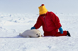 Little girl petting Harp Seal (Phoca groenlandica) newborn pup resting on floating ice.  Magdalen Islands, Canada, Atlantic Ocean, Model Released. - Brandon Cole