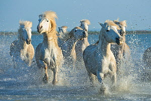 Grey Camargue horses, galloping through water in the Camargue, France, April. - Jeff Vanuga