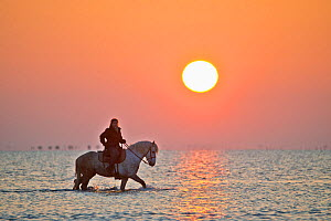 Guardian riding Camargue horse through water at sunrise, Camargue, Bouches du Rhone, France, May 2013.  -  Jeff Vanuga