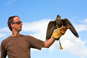 Peregrine falcon (Falco peregrinus) with trainer, Somerset, England, UK, August 2012.  -  John Waters