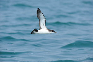 Manx Shearwater (Puffinus puffinus) in flight low over the sea, south coast of Anglesey, North Wales, UK.  -  Mike Potts