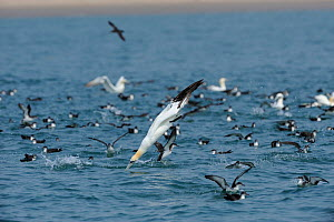 Diving Gannet (Morus bassanus) with Manx Shearwaters (Puffinus puffinus) feeding at the surface, south coast of Anglesey, North Wales, UK.  -  Mike Potts