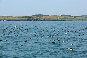 Manx Shearwater (Puffinus puffinus) flock feeding on the surface. South coast of Anglesey, North Wales, UK.  -  Mike Potts