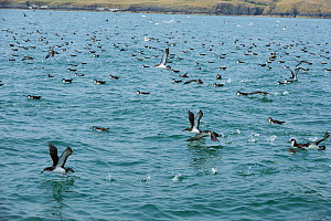 Manx Shearwater (Puffinus puffinus) flock feeding on the surface, south coast of Anglesey, North Wales, UK.  -  Mike Potts