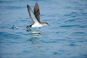 Manx Shearwater (Puffinus puffinus) taking off from calm sea, south coast of Anglesey, North Wales, UK.  -  Mike Potts