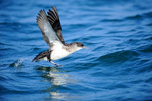 Manx Shearwater (Puffinus puffinus) taking off from the sea, off south coast of Anglesey, North Wales, UK.  -  Mike Potts