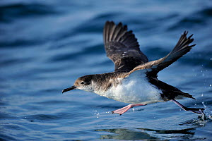 Manx Shearwater (Puffinus puffinus) taking off from the sea, of the south coast of Anglesey, North Wales, UK.  -  Mike Potts