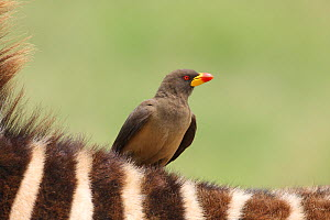 Yellow-billed Oxpecker (Buphagus africanus) perched on back of zebra, Serengeti, Tanzania.  -  Mike Wilkes