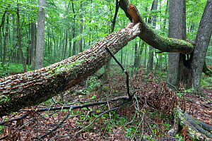 Fallen tree, with carpenter ant damage, French Creek State Park, Philadelphia, Pennsylvania, USA, August.  -  Doug Wechsler