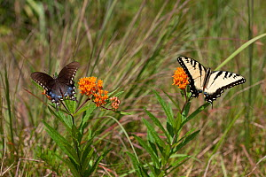 Eastern tiger swallowtail (Papilio glaucus) and Spicebush Swallowtail (Papilio troilus) on butterfly weed, French Creek State Park, Berks County, Pennsylvania, USA, August.  -  Doug Wechsler