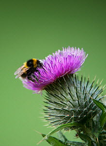 Early bumblebee (Bombus pratorum) collecting pollen from a thistle flower. Washington, Tyne and Wear, UK.  -  Roger Powell
