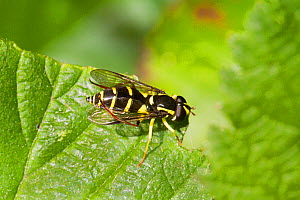 Hoverfly (Xanthogramma perdissequum) engaged in grooming,  Lewisham, London, England, UK, May. - Rod Williams