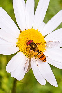 Hoverfly (Episyrphus balteatus) feeding on ox-eye daisy, Lewisham, London, England, UK, June. - Rod Williams