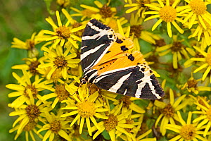 Jersey tiger moth (Euplagia quadripunctaria) with less common yellow colour variation feeding on ragwort, Lewisham, London, UK, August.  -  Rod Williams