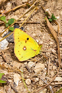 Male Clouded yellow butterfly (Colias croceus) resting on chalky soil, Hutchinson's Bank, New Addington, London, UK, August. - Rod Williams