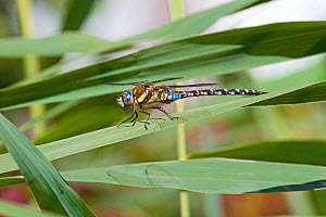 Male Migrant hawker dragonfly (Aeshna mixta) at rest in reeds, Greenwich Peninsula Ecology Park, London, UK, September. - Rod Williams