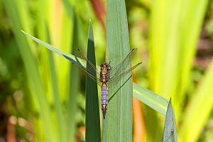 Male Black tailed skimmer (Orthetrum cancellatum) resting on reed, Greenwich, London, UK, July.  -  Rod Williams
