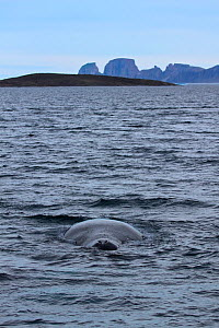 Bowhead Whale (Balaena mysticetus) at surface showing blowhole on the east coast of Baffin island, Qikiqtarjuaq, Nunavut, Canada, August 2012. - Todd  Mintz