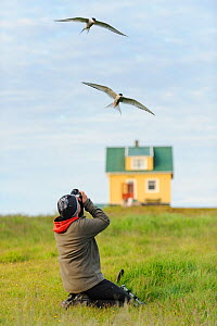Two Arctic terns (Sterna paradisaea) in flight with birdwatcher watching, Flatey Island, Iceland, July 2012. Model released.  -  Terry  Whittaker