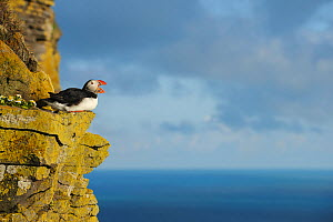 Puffin (Fratercula arctica) on cliff ledge calling, Latrabjarg, Iceland, July. - Terry  Whittaker