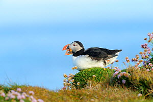 Puffin (Fratercula arctica) calling, Latrabjarg, Iceland, July. - Terry  Whittaker