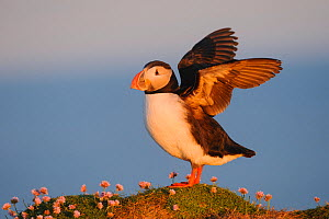 Puffin (Fratercula arctica) flapping wings, Latrabjarg, Iceland, July. - Terry  Whittaker