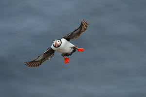 Puffin (Fratercula arctica) in flight over sea, Latrabjarg, Iceland, July. - Terry  Whittaker