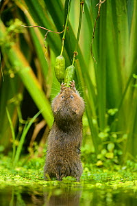 Water vole (Arvicola amphibius) standing on hind legs feeding on Yellow flag (Iris pseudacorus) seed pod, Kent, England, UK, October. Contrived situation.  -  Terry  Whittaker