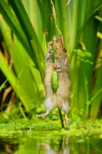 Water vole (Arvicola amphibius) biting off Yellow flag (Iris pseudacorus) seed pod, Kent, England, UK, October. Contrived situation. Highly commended in the Animal Behaviour category of BWPA Competiti...  -  Terry  Whittaker