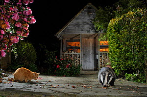 Badger (Meles meles) and domestic cat feeding together in urban garden, Kent, UK, May.  -  Terry  Whittaker