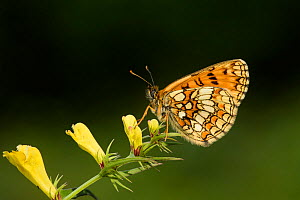 Heath fritillary butterfly (Melitaea athalia) on Common cow-wheat (Melampyrum pratense) a larval food plant, Blean Woods, Kent, UK, July.  -  Terry  Whittaker